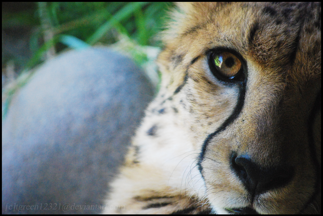 ive got wild eyes. by cheetah-spotts