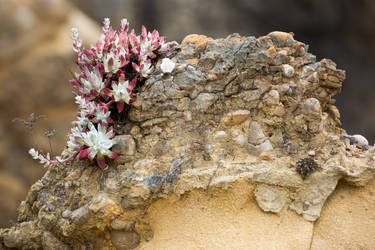 Succulents at Point Lobos