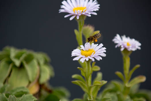 Pollination at Point Lobos