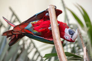 Green-Winged Macaw at the San Diego Zoo