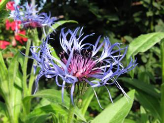 Cornflower blue by inmc