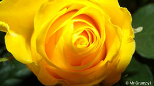 Yellow rose-2018-01-13-19-37-28