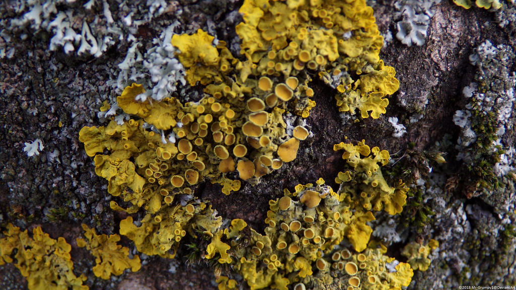 Yellow Lichen Macro by Mr-Grumpy1