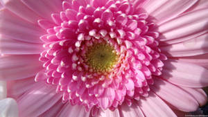 Pretty In Pink (Macro)