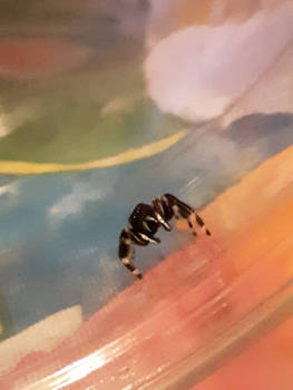 Edgar The Jumping Spider