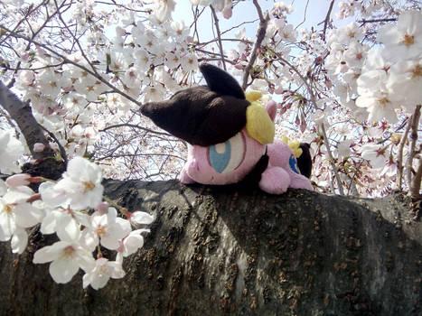 Cordy in Japan ~ Blossoms in Osaka, Kansai