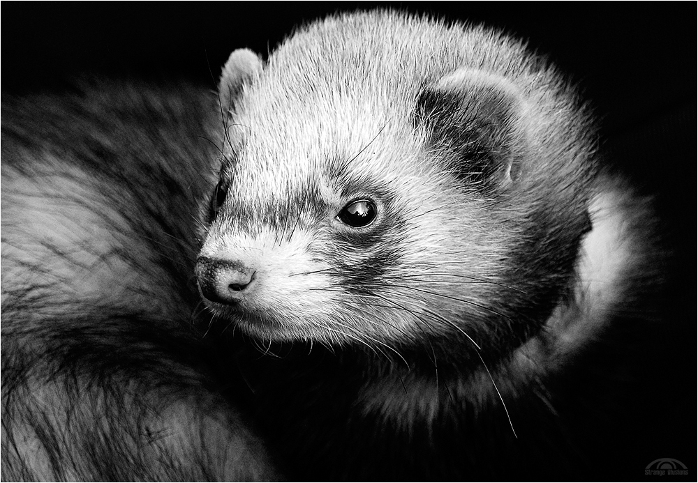 ferret face wallpaper background - photo #45
