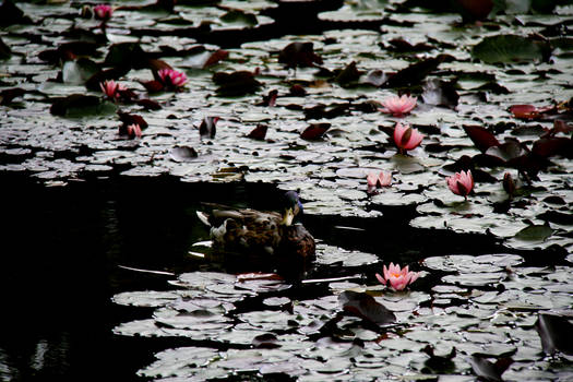 encircled by water lilies