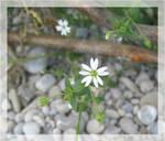 white little flower.