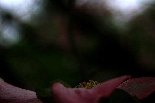 Autumn Dogwood Blossom