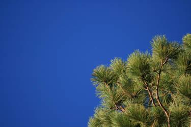 Wisconsin Pine