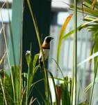Flickering Finch