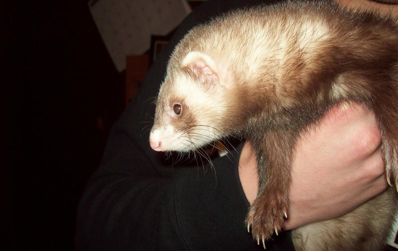 Sable Pointed Ferret by ReturningDragon
