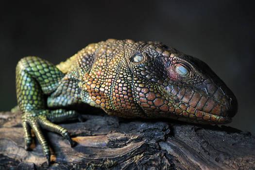 Sleeping Caiman Lizard