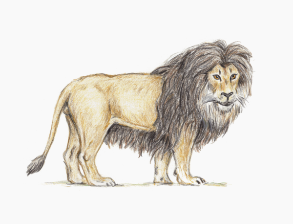 Barbary Lion by ClausThomsen on DeviantArt