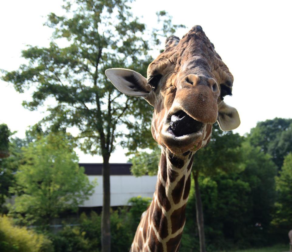 Funny Giraffe by joshi1404