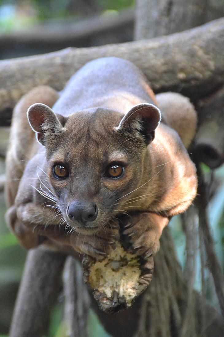 Madagascar Fossa by joshi1404