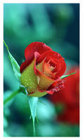 Just another rose