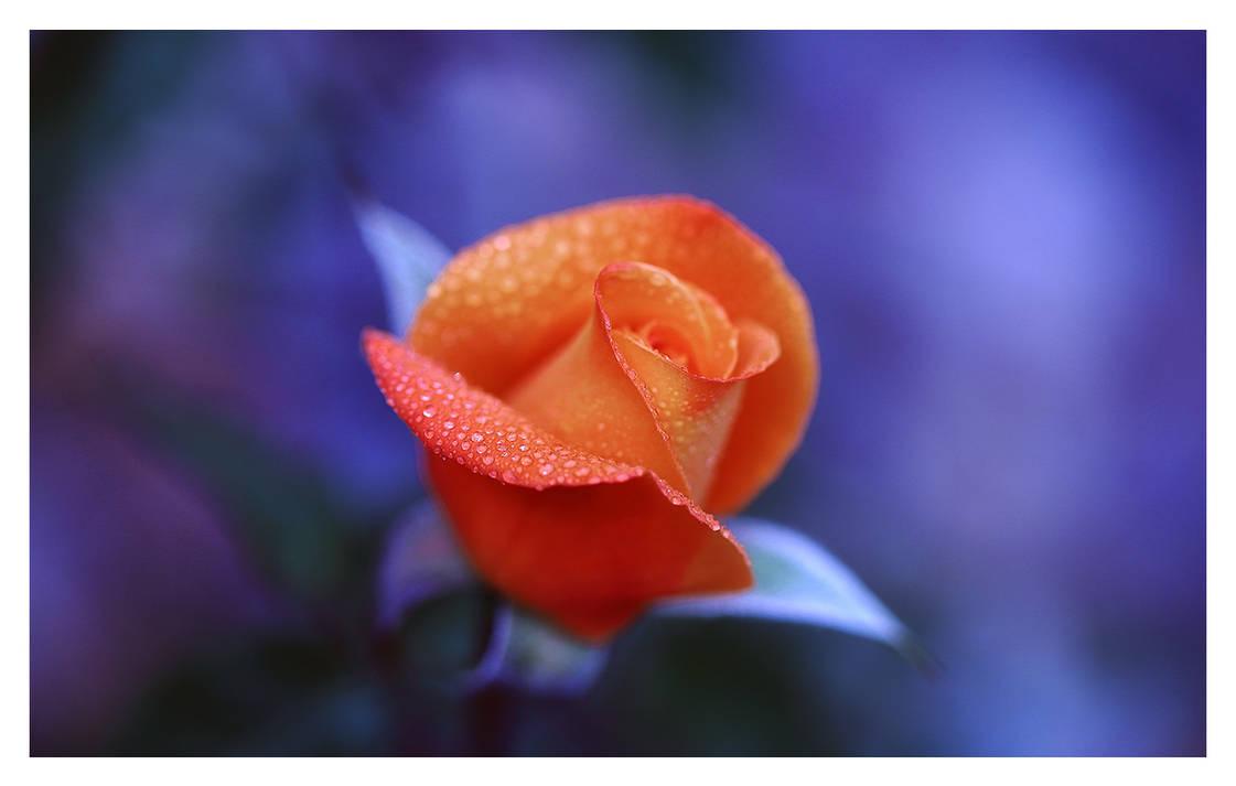 Spring rose by relhom