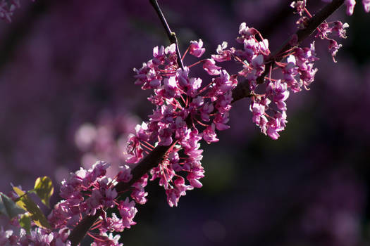 blossoms and cherries