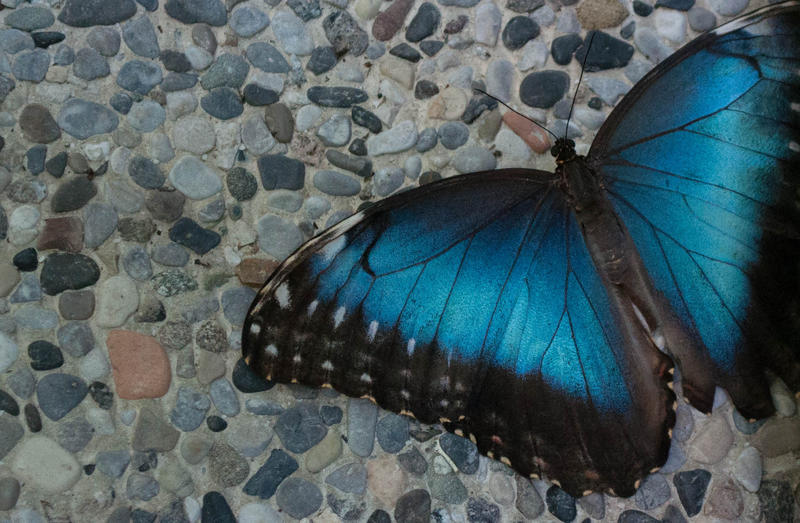 The emperor butterfly - Morpho peleides by MihaelaJoeDesigns