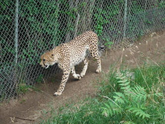 Patrolling Fast Cat