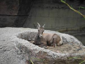 Rocky Mountain Ewe