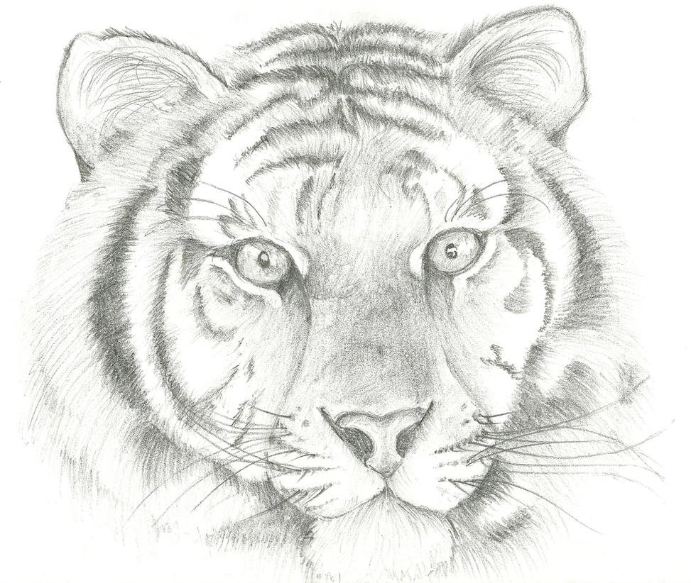 Line Drawing Of A Tiger S Face : Tiger face by hundragirl on deviantart