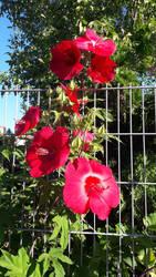 Hibiscus 3
