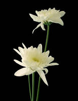 Flower-stock 3 by AJK-Original-Stock