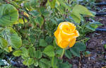 A Yellow Rose in my Sight