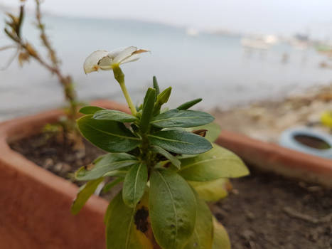 Flower watching waves..