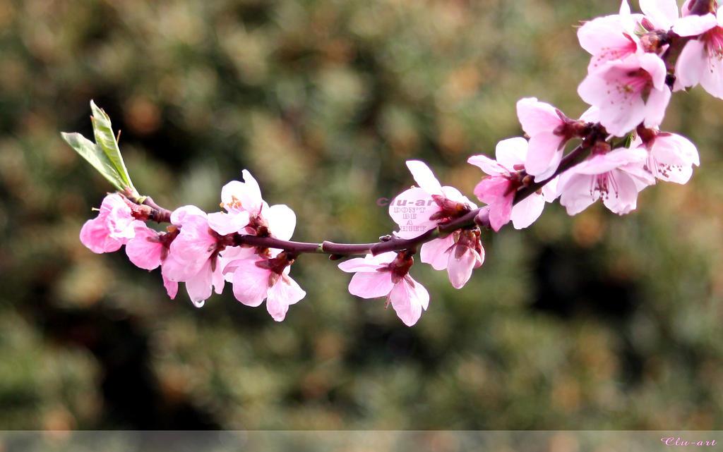 Peach Blossoms Wallpaper By Clu Art