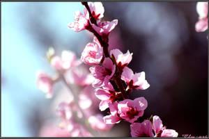 Peach in bloom by Clu-art