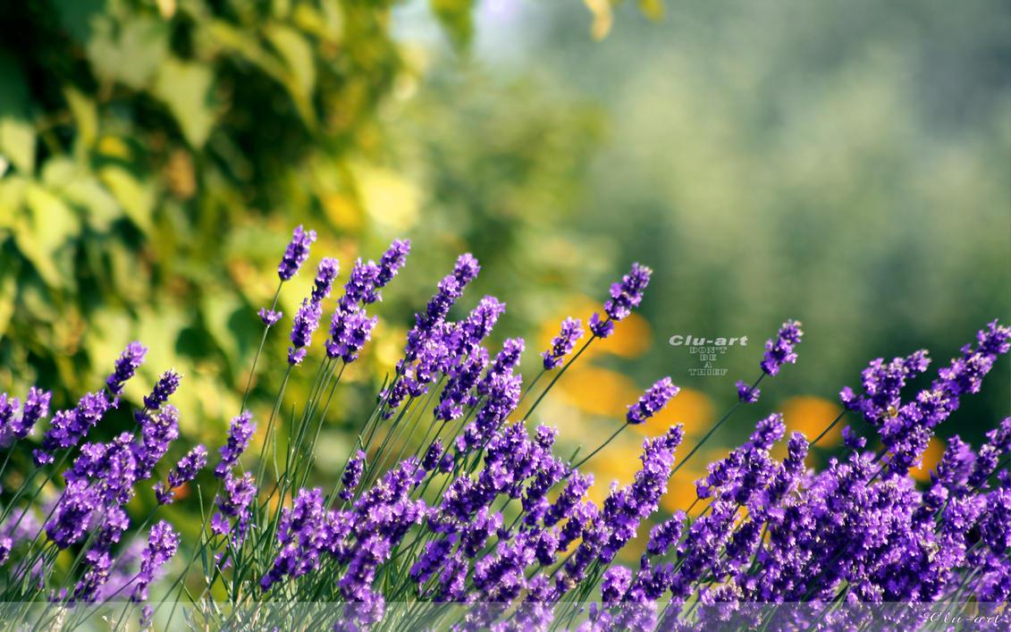 Lavender WALLPAPER by Clu-art