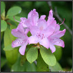 Symmetric Rhododendron