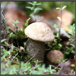 Summer Find: Bright Birch Bolete