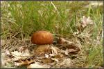Summer Find: Boletus aestivalis