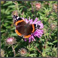 The Red Admiral by Clu-art