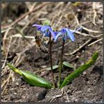 Bee on Scilia