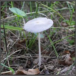 Summer Find: Parasola Plicatilis