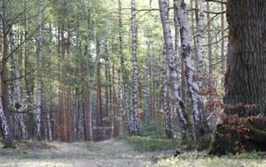 Birches In Spring Wallpaper by Clu-art