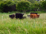 Cows by KatrinaFTW44