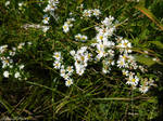 Fleabane Flowers by KatrinaFTW44