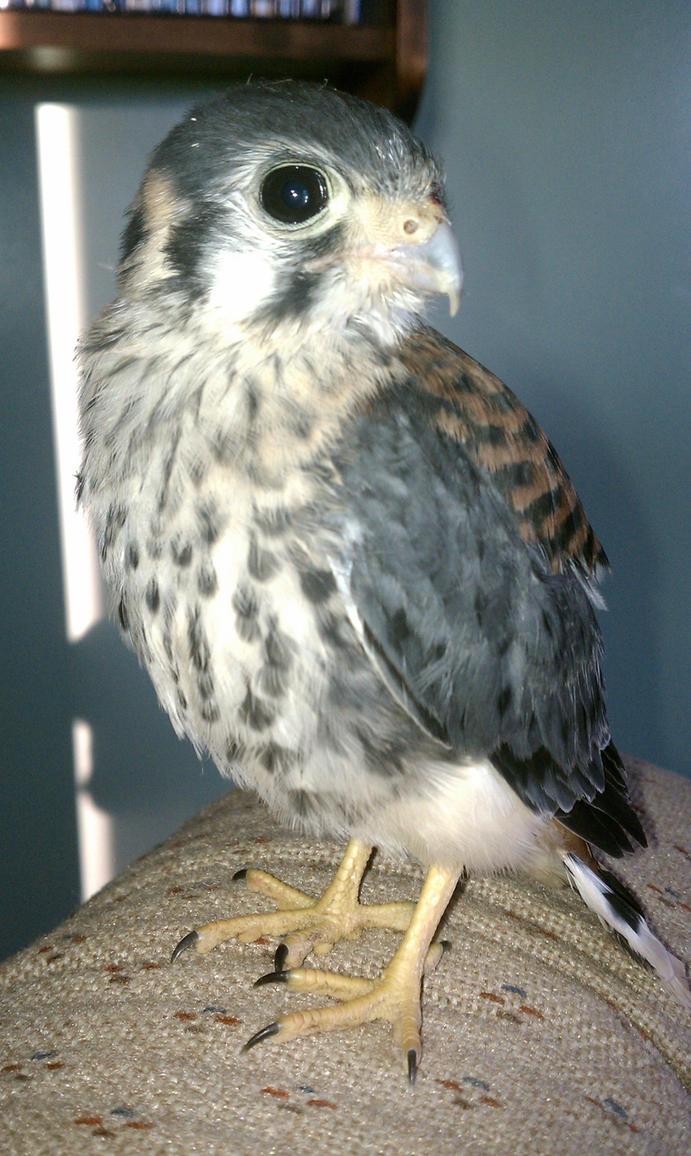 Baby hawk bird - photo#7