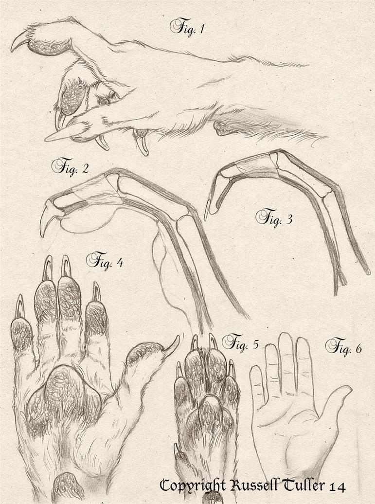 Comparative Anatomy Wolf Anthro Hand by RussellTuller on DeviantArt