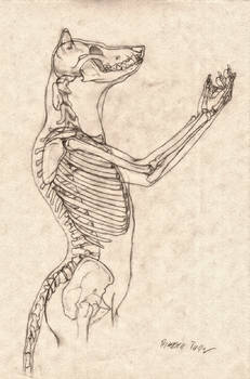 Wolf Anthro Anatomy {Upper Bone Structure}