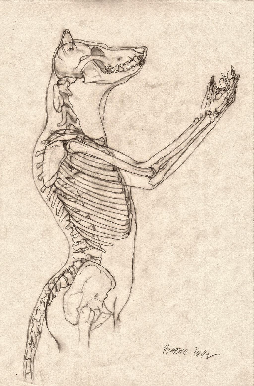 Wolf Anthro Anatomy {Upper Bone Structure} by RussellTuller on ...