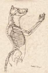 Wolf Anthro Anatomy {Upper Bone Structure}