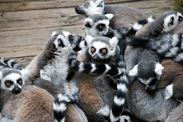lemur by Ashstorm